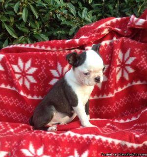 Brilliant Male Boston Terrier Puppy For Adoption