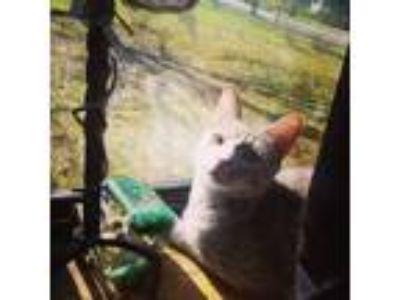 Adopt Squishbean a Tortoiseshell Domestic Shorthair / Mixed cat in Nunda