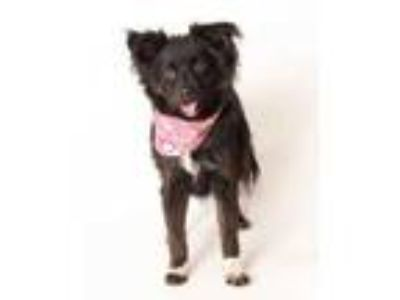 Adopt Magic a Black Papillon / Mixed dog in Buellton, CA (22560161)