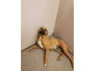 Adopt Bazerker a Tan/Yellow/Fawn American Staffordshire Terrier / Mixed dog in