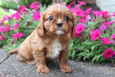 Awesome Cavalier King Charles Spaniel