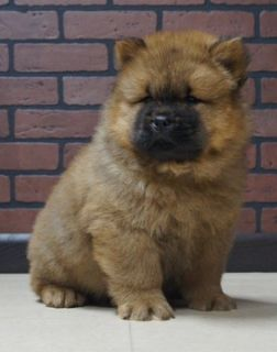 Chow Chow PUPPY FOR SALE ADN-104836 - Beautiful AKC Chow Chow Puppies Ready to go