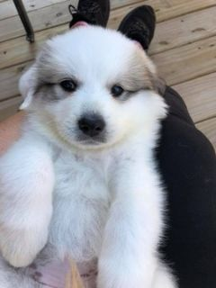 Great Pyrenees PUPPY FOR SALE ADN-92953 - Female puppy