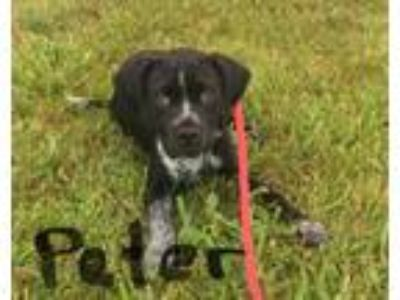 Adopt Peter a German Shorthaired Pointer, Labrador Retriever