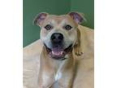 Adopt Ty a Pit Bull Terrier
