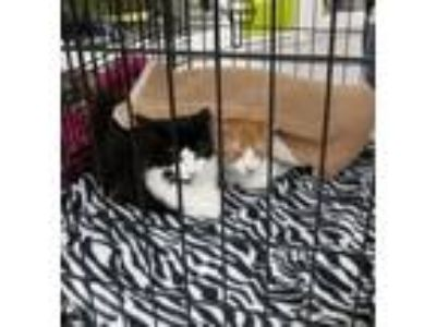 Adopt Tang a Domestic Shorthair / Mixed (short coat) cat in St.