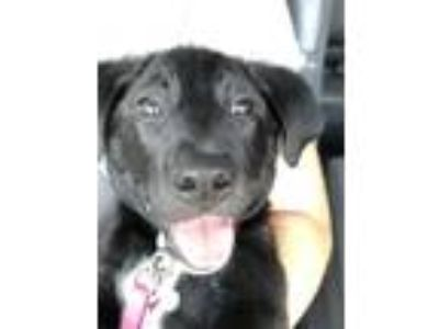 Adopt Mila a Black - with White Labrador Retriever dog in Plano, TX (25756059)
