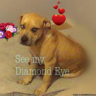 Sparkling Diamond Bright Blue Eye Pit Mix Strawberry Blonde Coat (Young Female)