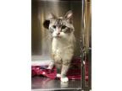Adopt Aria a Cream or Ivory Siamese / Domestic Shorthair / Mixed cat in Dothan