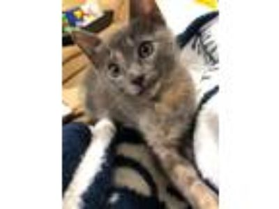 Adopt Maraca a Domestic Short Hair