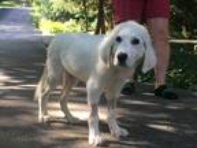 Adopt Wynn a White Great Pyrenees / Mixed dog in Statewide, TX (25892366)