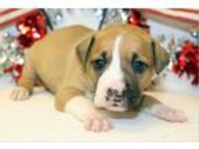 Adopt Star a Brown/Chocolate - with Black German Shepherd Dog / Boxer / Mixed