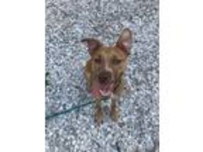 Adopt Avalon a Brown/Chocolate American Pit Bull Terrier / Retriever (Unknown