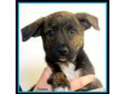 Adopt Jessie a Brindle Terrier (Unknown Type, Small) / Mixed dog in Sullivan