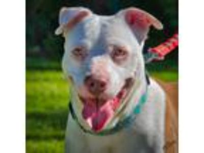 Adopt Cinnamon a White - with Brown or Chocolate Pit Bull Terrier / Mixed dog in