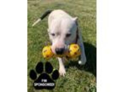Adopt MARLON a White American Pit Bull Terrier / Mixed dog in Tangent