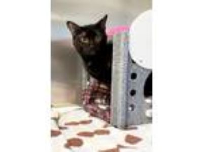 Adopt Traser a Domestic Shorthair / Mixed (short coat) cat in Irving