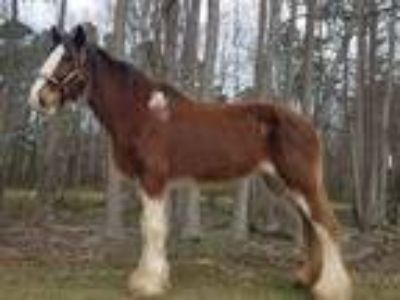 Registered Clydesdale Rides and Drives