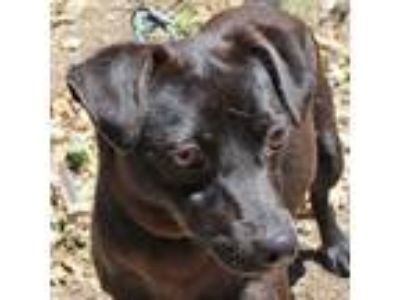 Adopt McCarthy a Black Terrier (Unknown Type, Small) / Dachshund / Mixed dog in