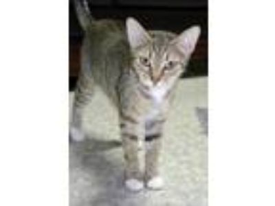 Adopt Marceline (the vampire queen) a Domestic Short Hair