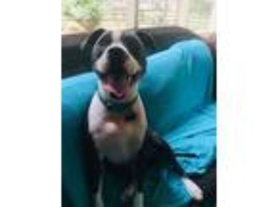 Adopt Tuck a Black - with White Staffordshire Bull Terrier / Mixed dog in