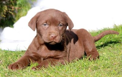 Labrador Retriever PUPPY FOR SALE ADN-71362 - Chocolate Lab Puppy for Sale
