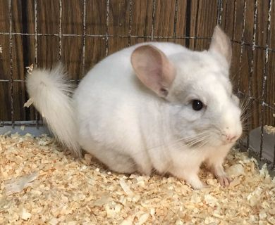 5 Month Old Pink White Male Chinchilla -- spunky!