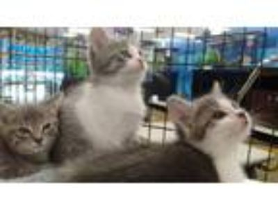 Kittens - For Sale Classified Ads in Gig Harbor, Washington