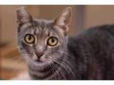 Adopt Jade a Gray or Blue Domestic Shorthair / Domestic Shorthair / Mixed cat in