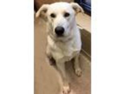 Adopt Boris (Shorewood) a Shepherd, Labrador Retriever