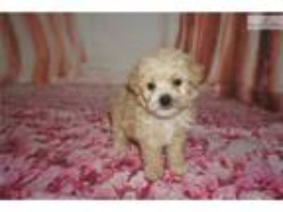 Pizza The Perfect Male CKC Male Shihpoo