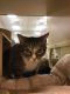 ELIZA Domestic Short Hair Cat