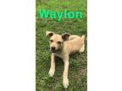 Adopt Waylon a Tan/Yellow/Fawn - with White Terrier (Unknown Type