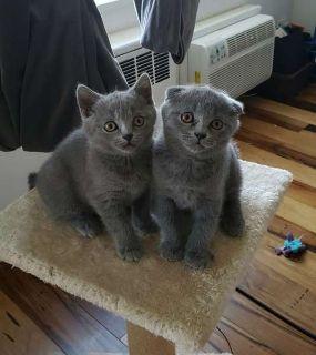 Gorgeous Scottish Fold/ Straight kittens for sale