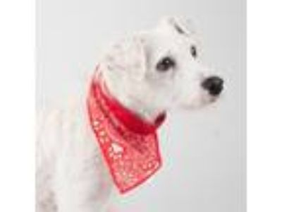 Adopt Bee Hannah a White Terrier (Unknown Type, Small) / Mixed dog in San