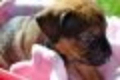 Nell German Shepherd Dog - Mastiff Dog