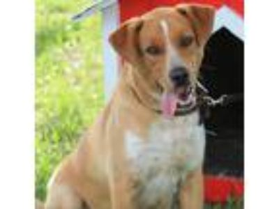 Adopt Hank a Red/Golden/Orange/Chestnut Rhodesian Ridgeback dog in Lake