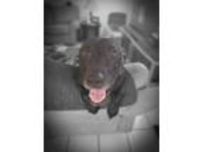 Adopt Pamina a Black Labrador Retriever / Mixed dog in Fort Lauderdale