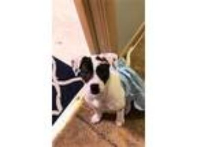 Adopt Penelope a Jack Russell Terrier