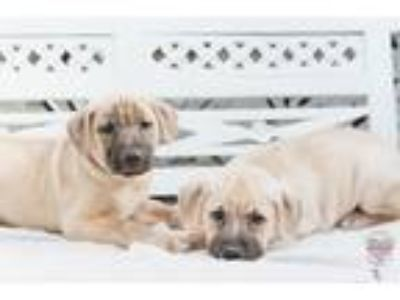 Adopt Hazel Litter 3.0 a Labrador Retriever, Golden Retriever