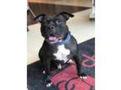 Adopt Plato a Black American Pit Bull Terrier / Mixed dog in Kansas City