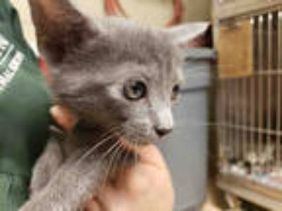 Adopt FRED* a Gray or Blue Domestic Shorthair / Mixed (short coat) cat in