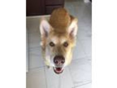 Adopt Paisley a Tan/Yellow/Fawn - with White Golden Retriever / German Shepherd