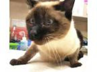 Adopt Sealy a Tan or Fawn Balinese / Domestic Shorthair / Mixed cat in