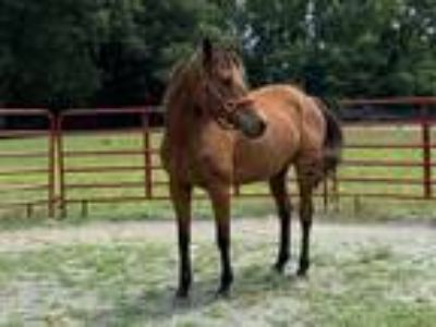 Pippi ShortBay OTTB Mare 9 yr old hh 153hh InterAdv250000