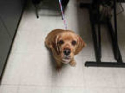 Adopt SWAG a Red/Golden/Orange/Chestnut Cocker Spaniel / Mixed dog in Redlands