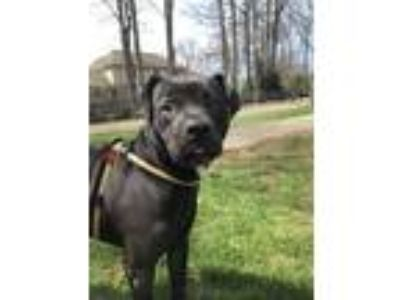 Adopt Basil a American Staffordshire Terrier / Pug / Mixed dog in Utica