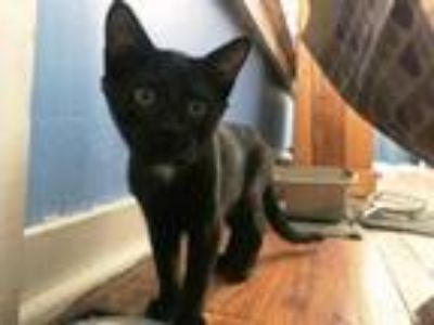 Adopt Herbie a Domestic Short Hair