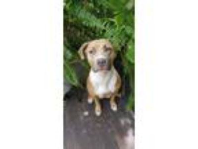 Adopt Cashmere a Tan/Yellow/Fawn - with White American Pit Bull Terrier / Pit