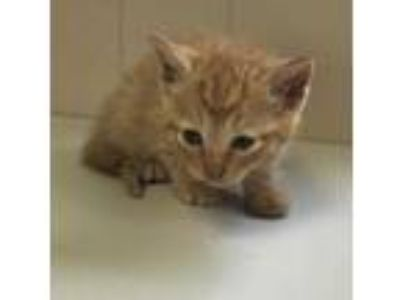 Adopt Karie a Orange or Red Domestic Shorthair / Domestic Shorthair / Mixed cat